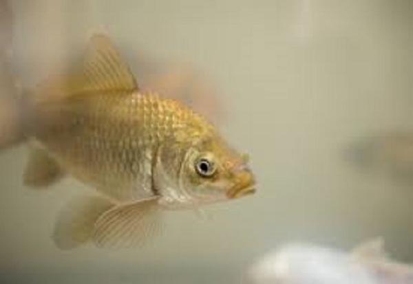 Nguyên nhân nào khiến cho nước hồ cá bị đục và đổi màu nhanh chóng?