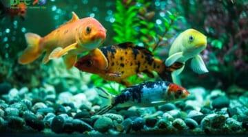 Cách làm hồ cá trong veo
