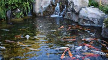 Có những cách làm trong nước hồ cá ngoài trời nào hiệu quả?